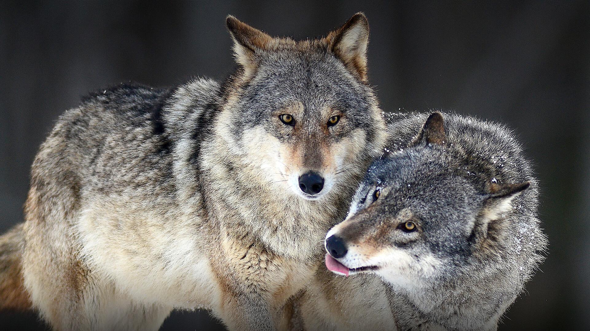 COLDIRETTI – L'allarme per gli allevamenti a causa dei lupi
